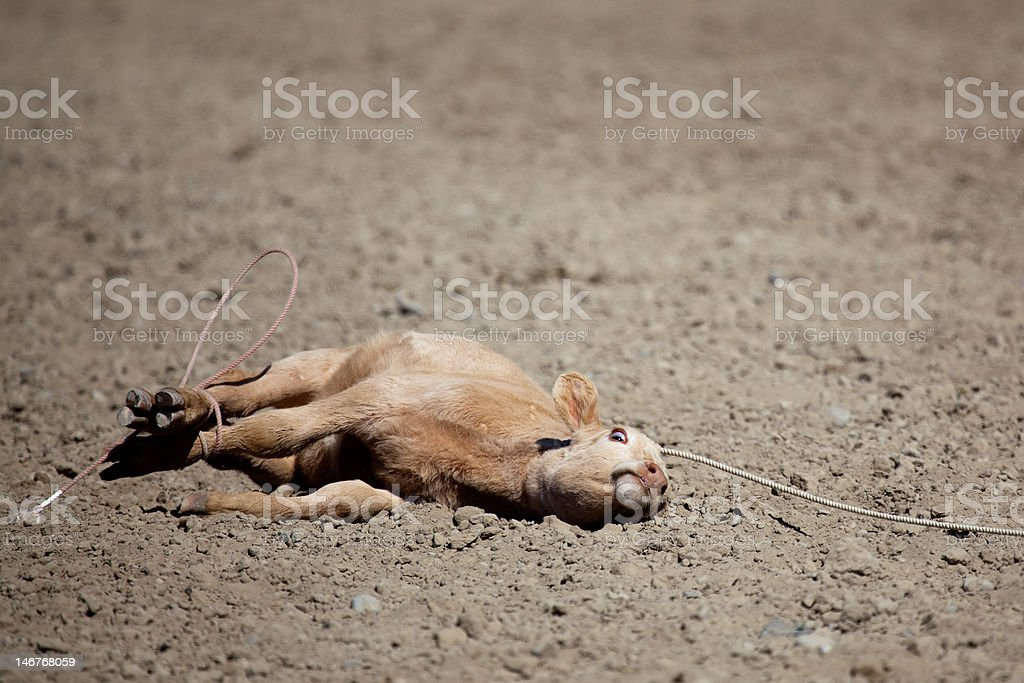 calf at the rodeo royalty-free stock photo