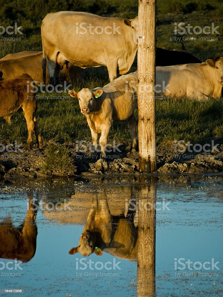 Calf at watering hole royalty-free stock photo
