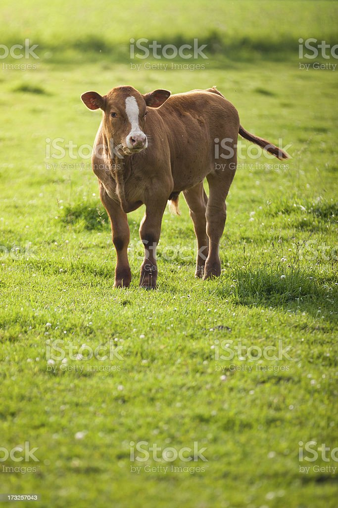 calf bull standing in field royalty-free stock photo