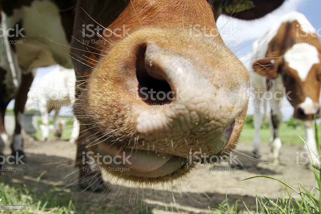 Calf chewing royalty-free stock photo