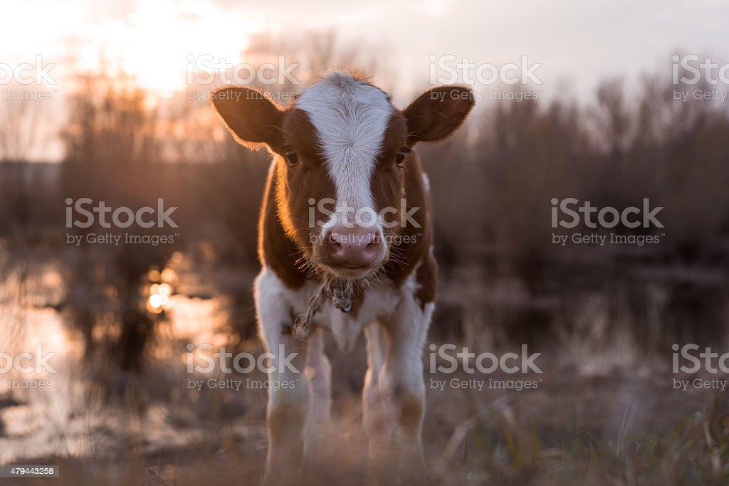 Calf cow looking at the camera at sunset stock photo