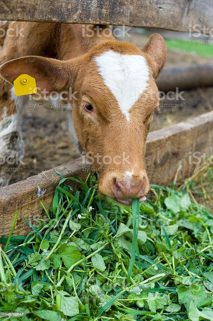 calf eating green rich fodder royalty-free stock photo
