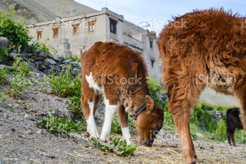 Calf grazing by the Yurutse homestay. Markha valley (Ladakh) stock photo