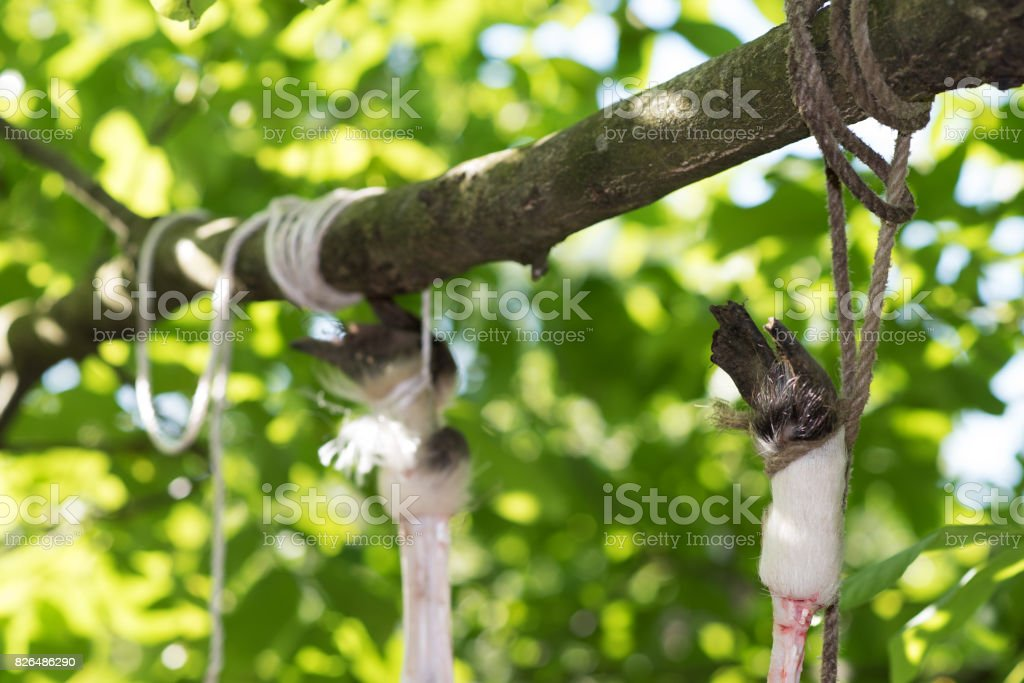 Calf hanging on the tree tied by legs, process disassembly veal stock photo