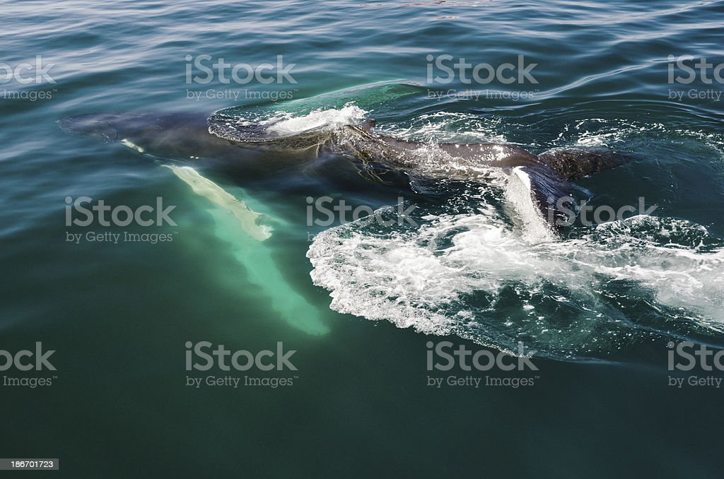 Calf Humpback Whale royalty-free stock photo