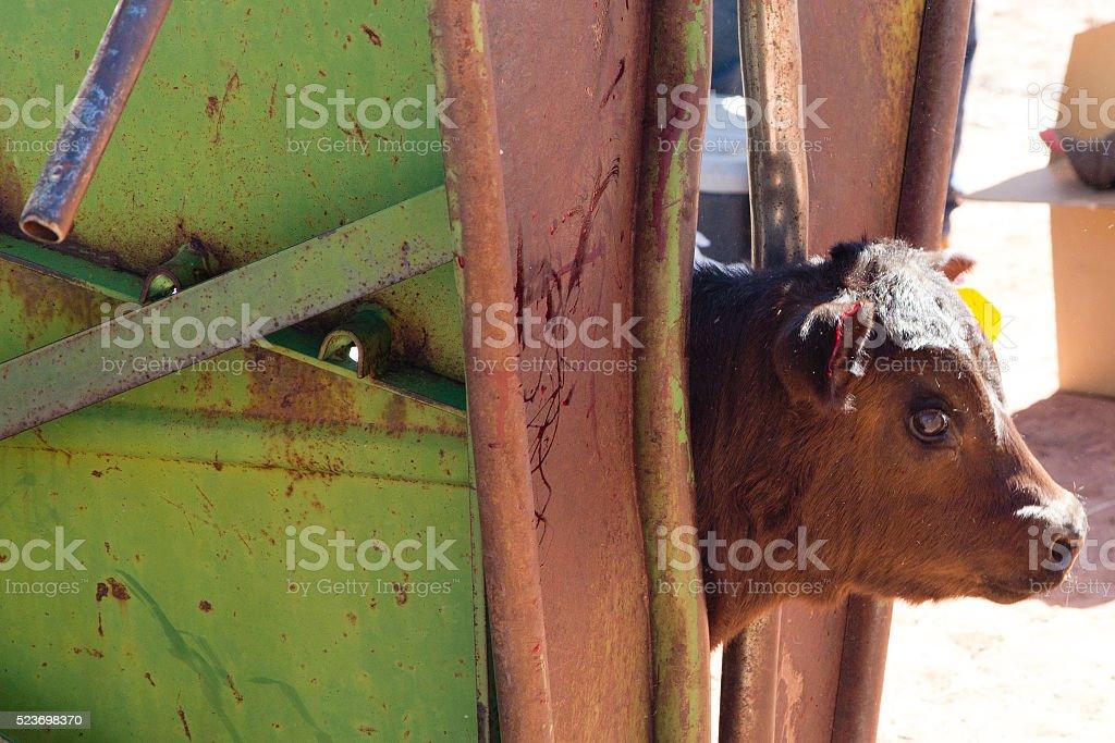 Calf In a Chute stock photo