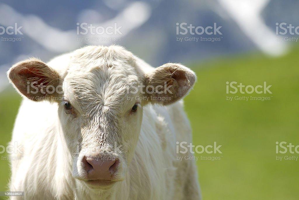 calf in a prairie stock photo