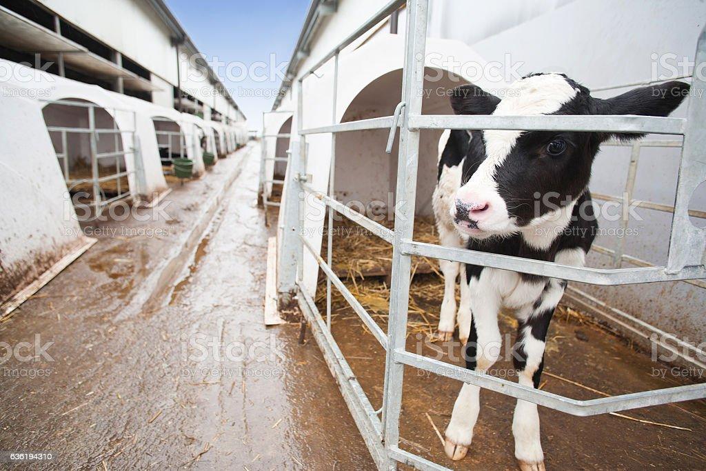 Calf in cow farm stock photo