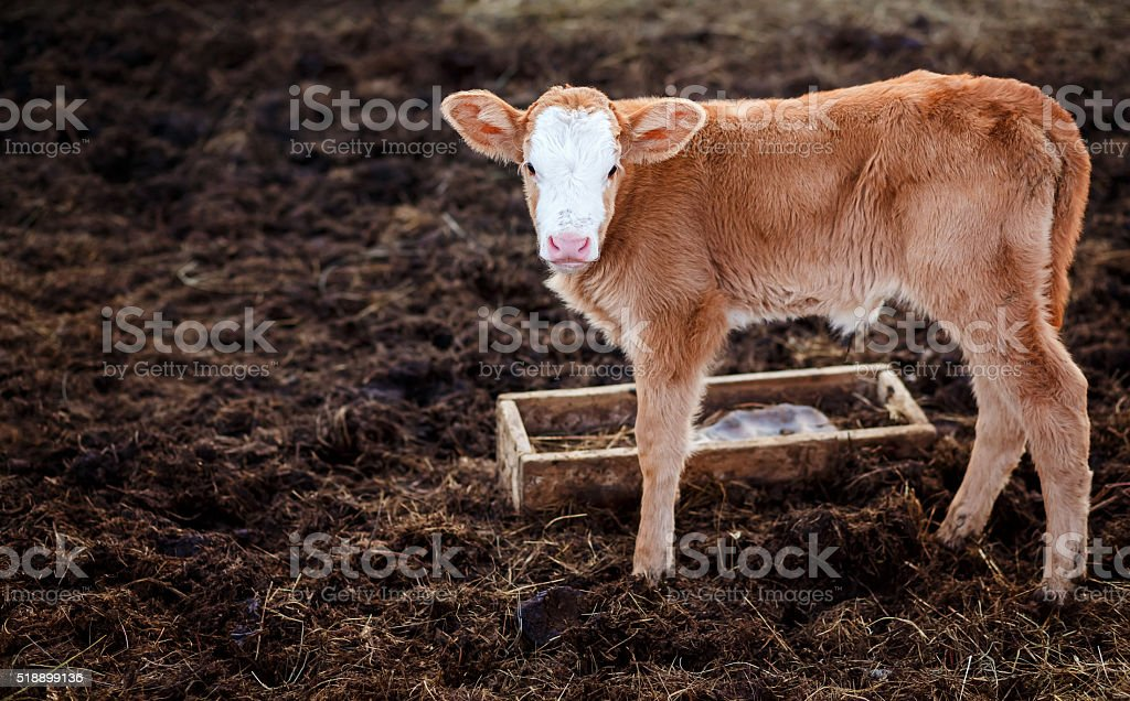 Calf in middle of feedlot manure, next to tub for stock photo