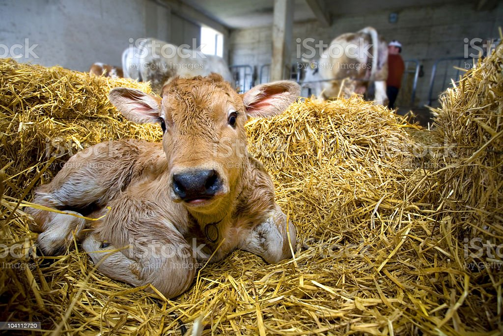 Calf in the straw stock photo