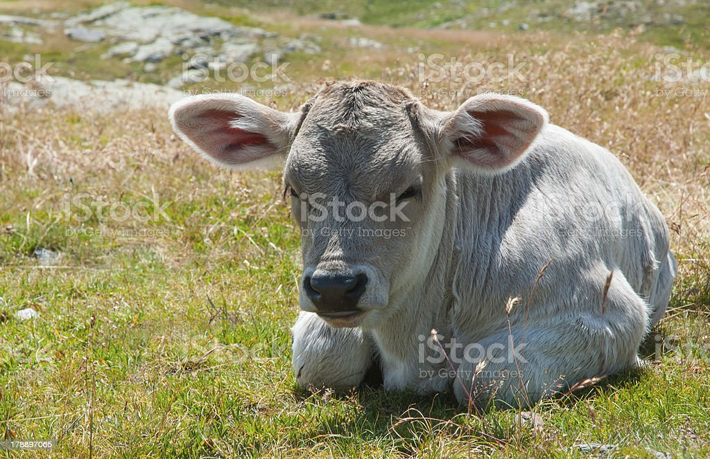 Kalb in den Schweizer Bergen royalty-free stock photo