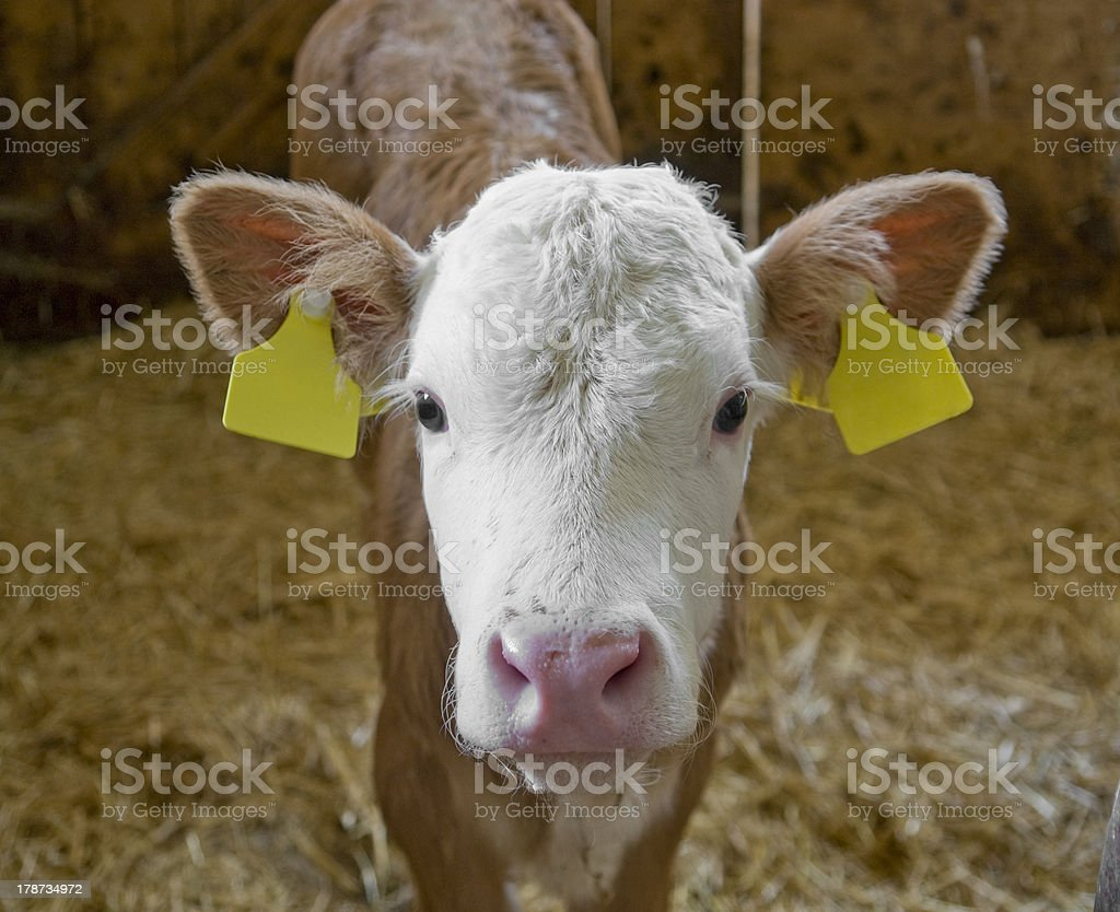 calf inside of a cow barn royalty-free stock photo