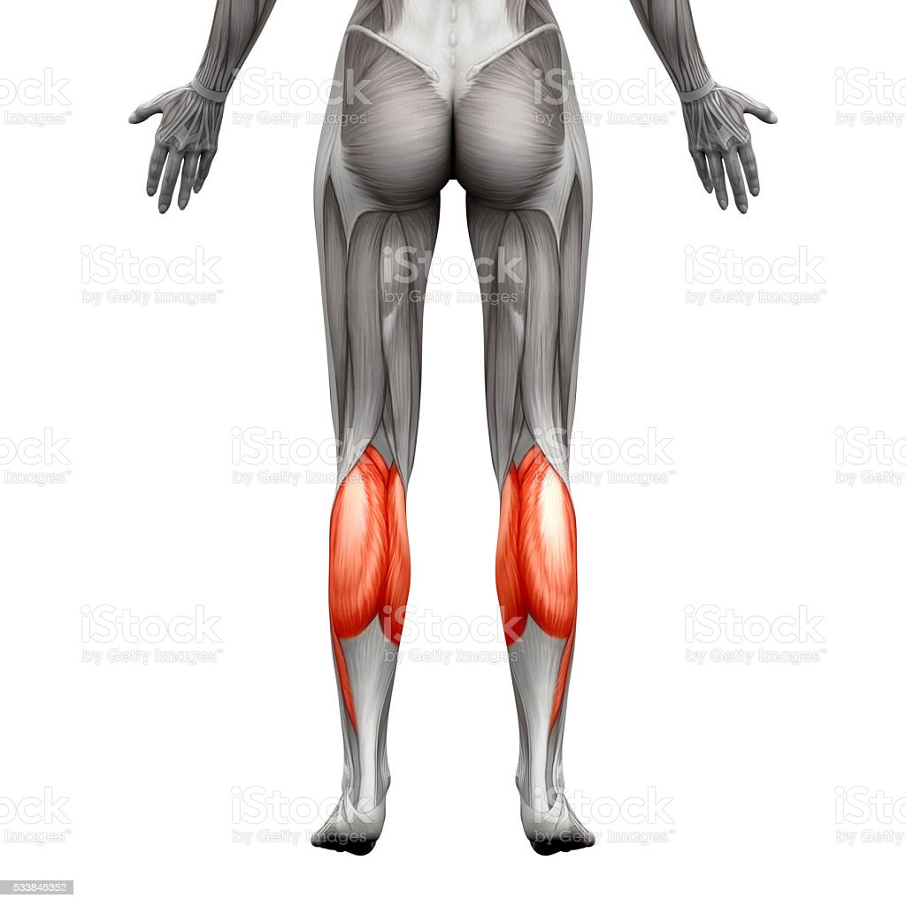 Calf Muscle - Gastrocnemius, Plantar Anatomy Muscle - isolated stock photo