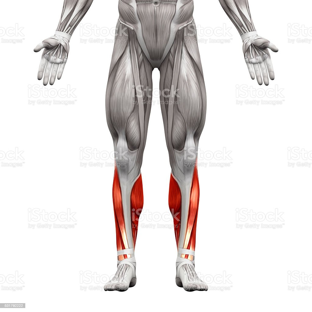 Calf Muscles - Anatomy Muscles isolated on white stock photo