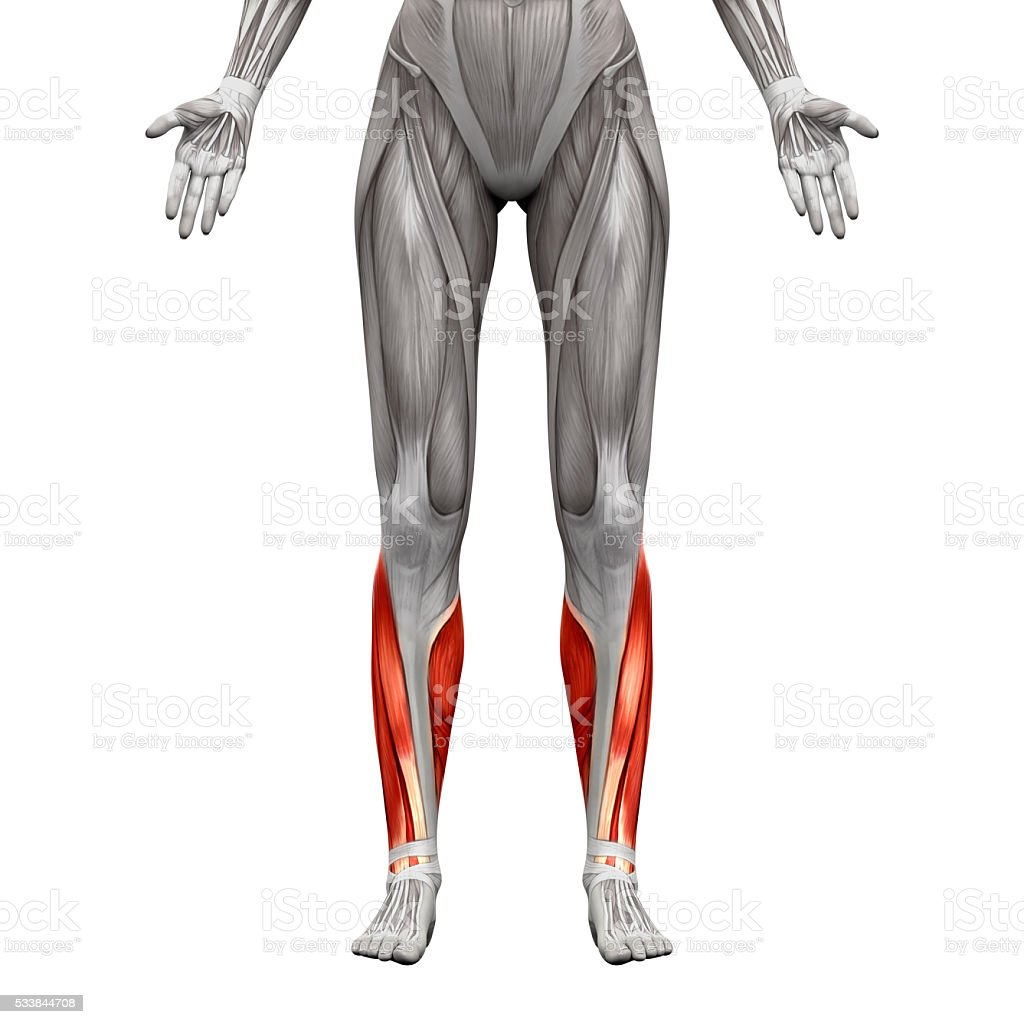 tibialis anterior muscle pictures, images and stock photos - istock, Human Body