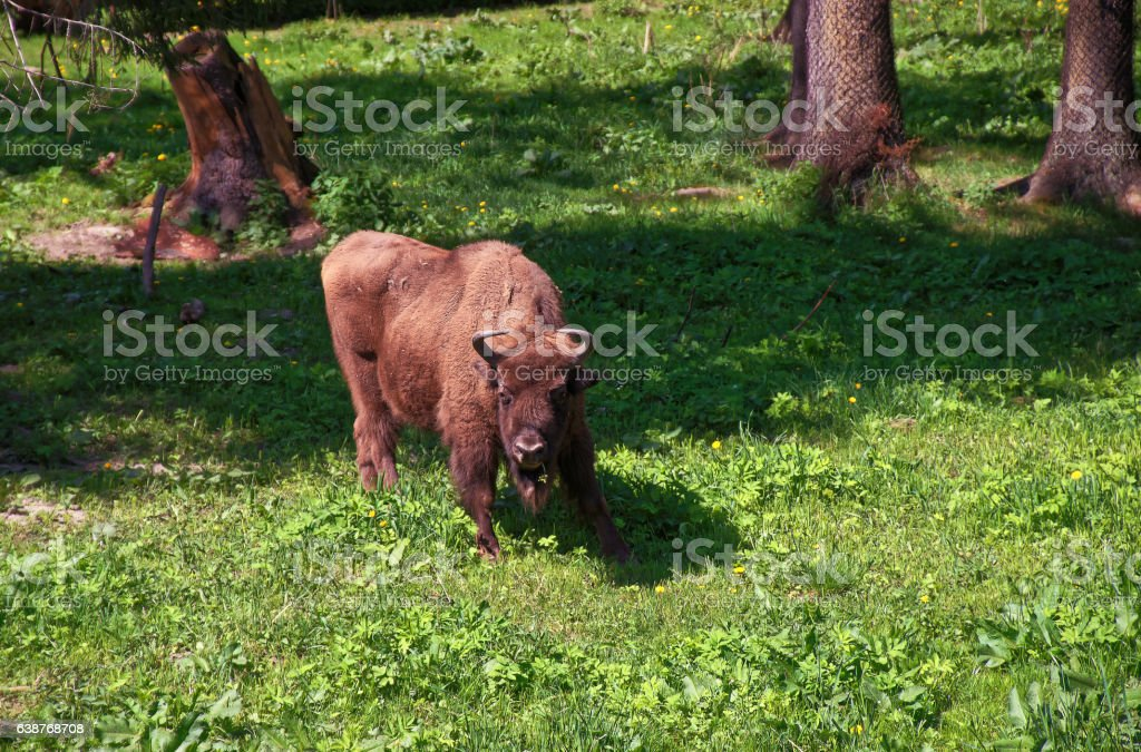 Calf of Bison in Bialowieza National Park in Poland stock photo
