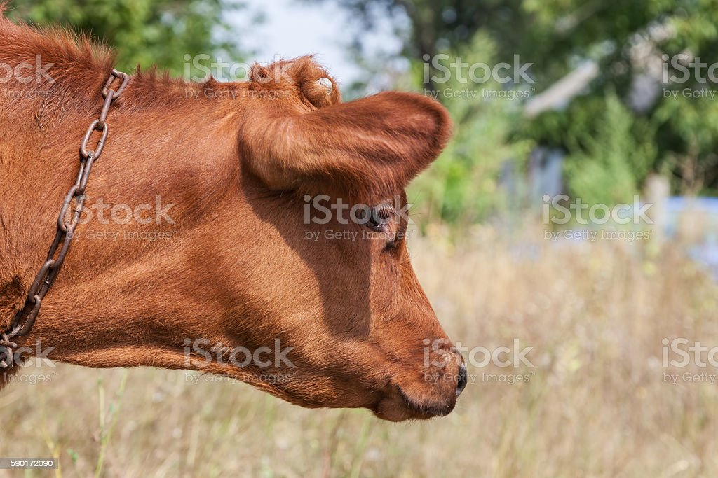 Calf on a leash outdoors stock photo