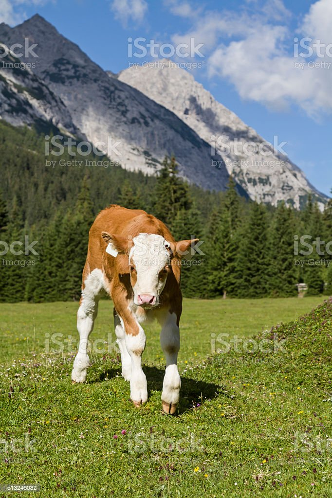 Calf on a meadow stock photo