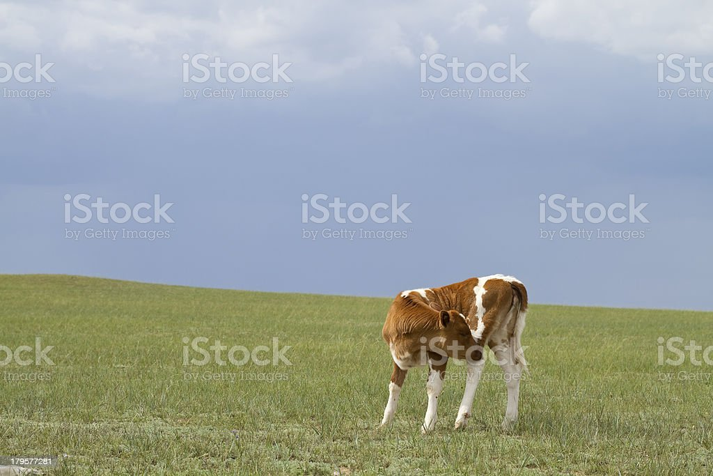 Calf on  Pasture royalty-free stock photo