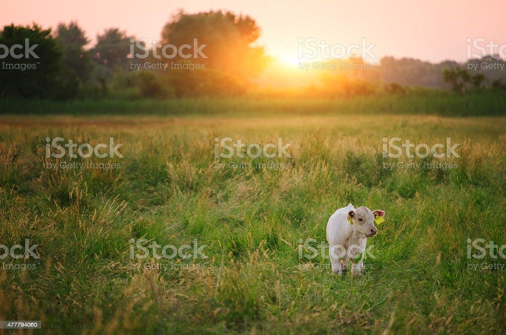 Calf on pasture stock photo