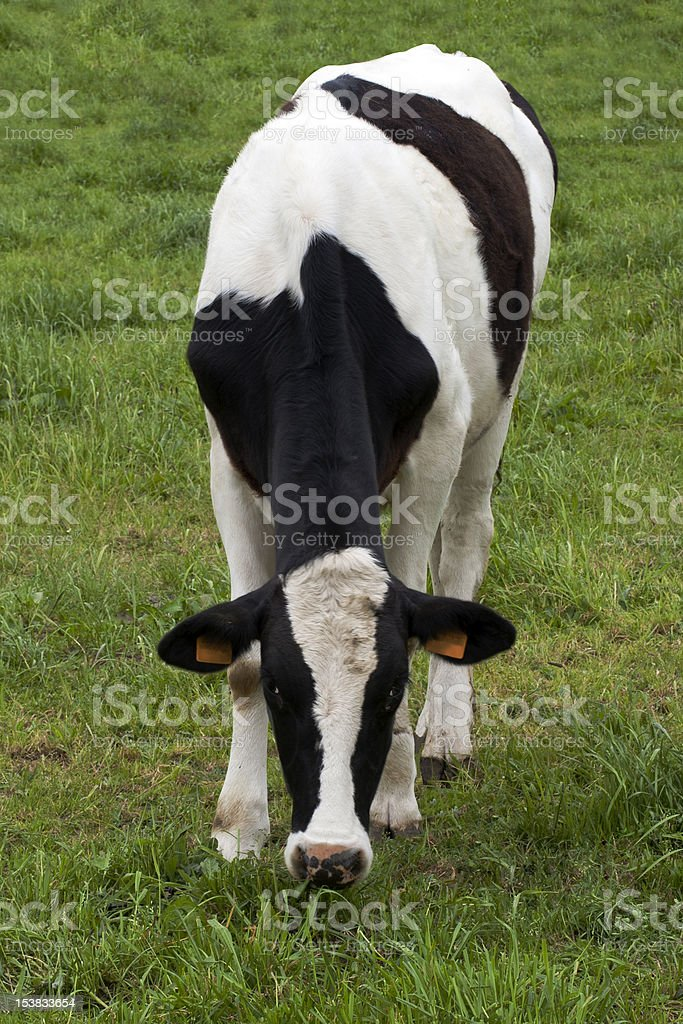 calf royalty-free stock photo