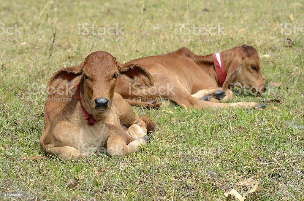 Calf. royalty-free stock photo