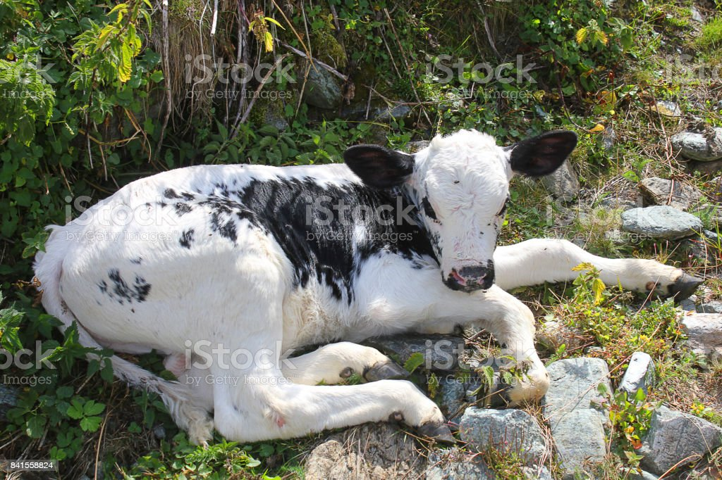 calf resting in the meadow stock photo
