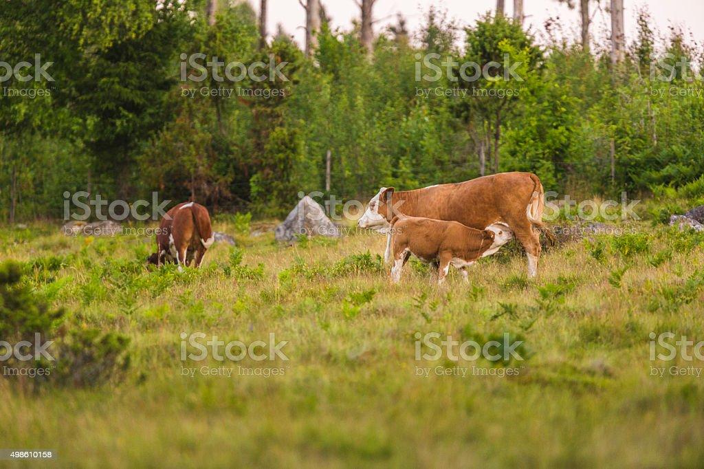 Calf sucking milk from cow stock photo