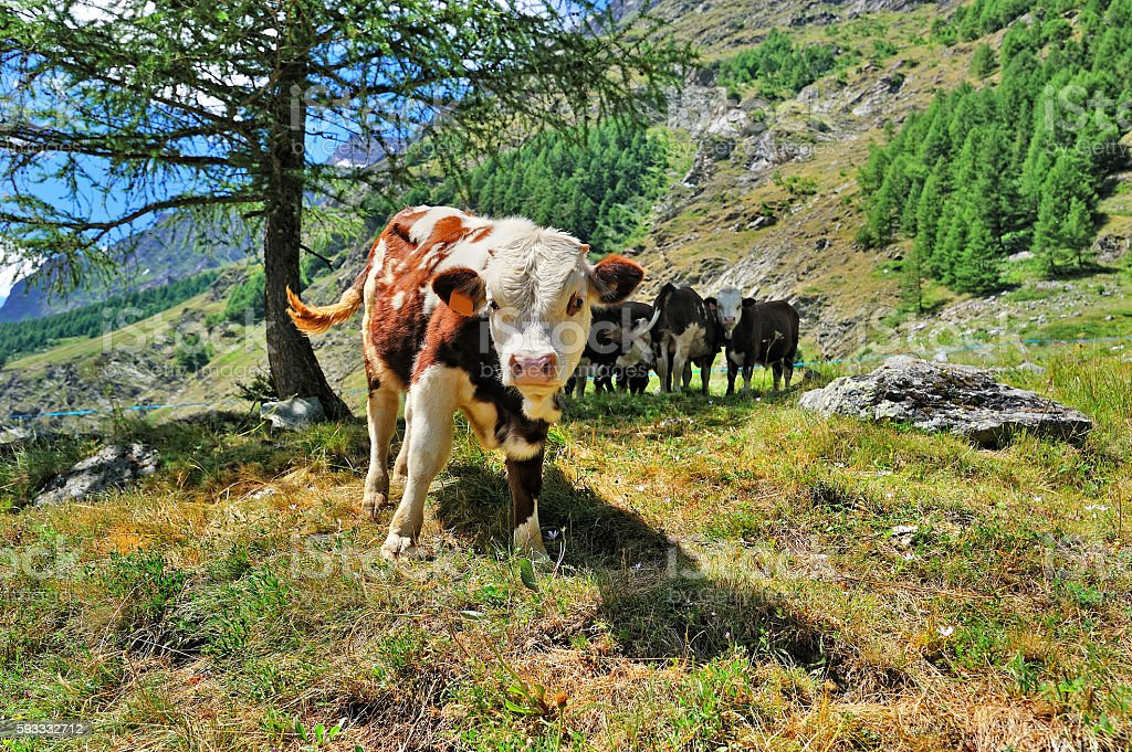 calfs in alpien pasture, husbandry in Valle dAosta stock photo