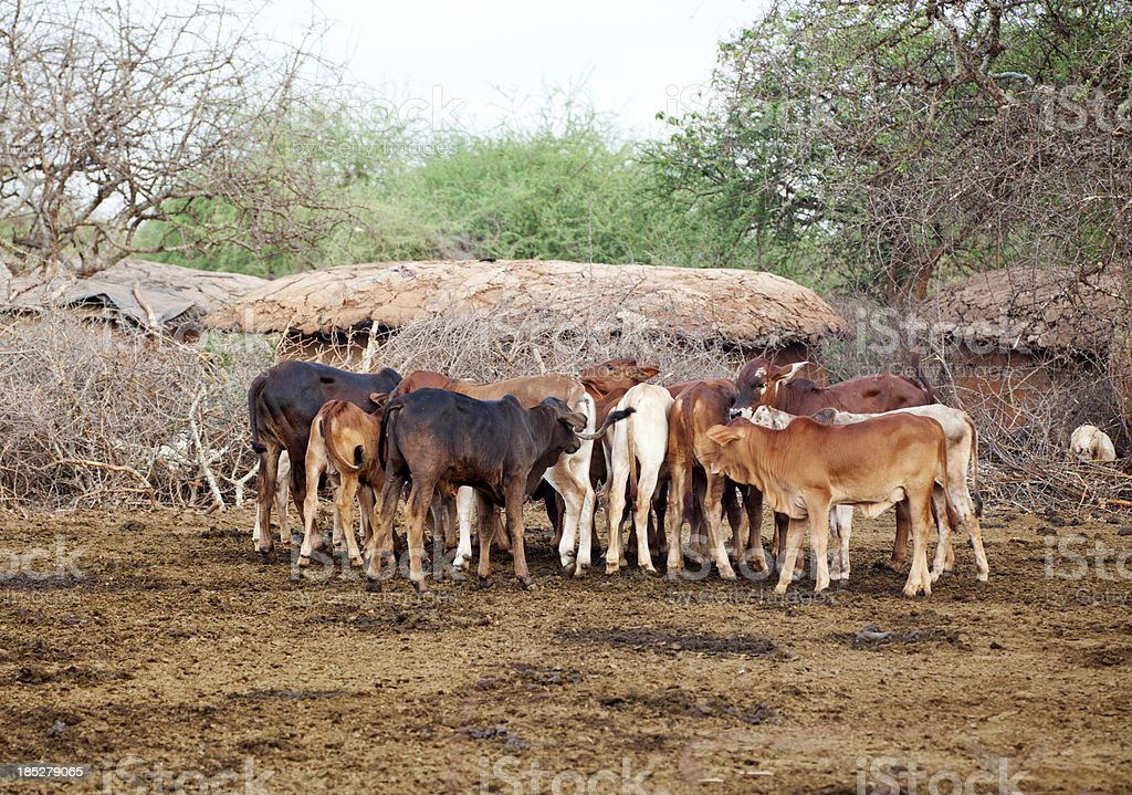 Calfs in masai village. stock photo