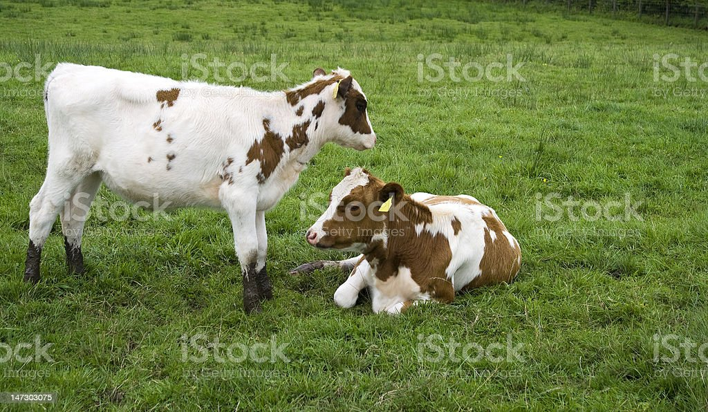 Calf's stock photo