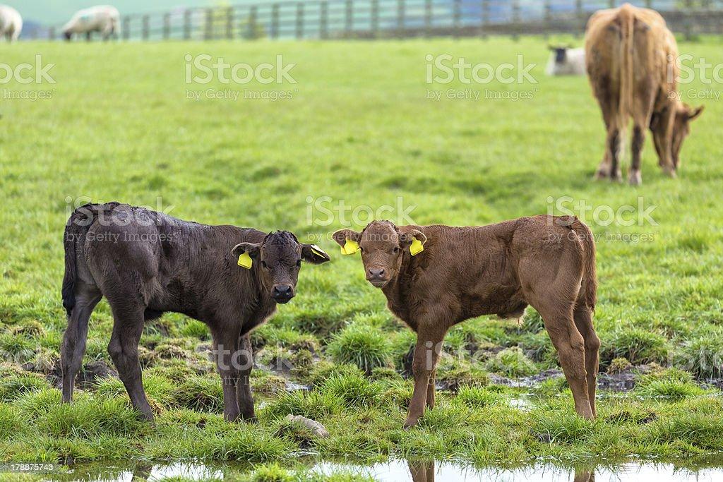 Calfs stock photo