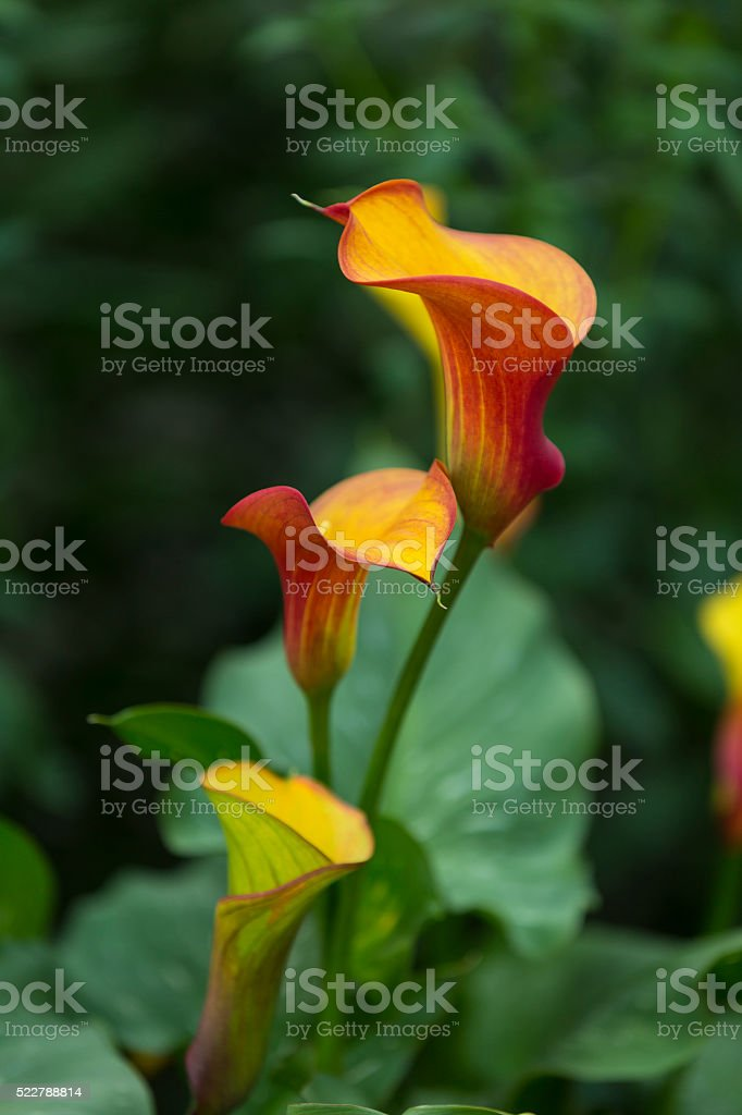 Calia Flame Flower stock photo
