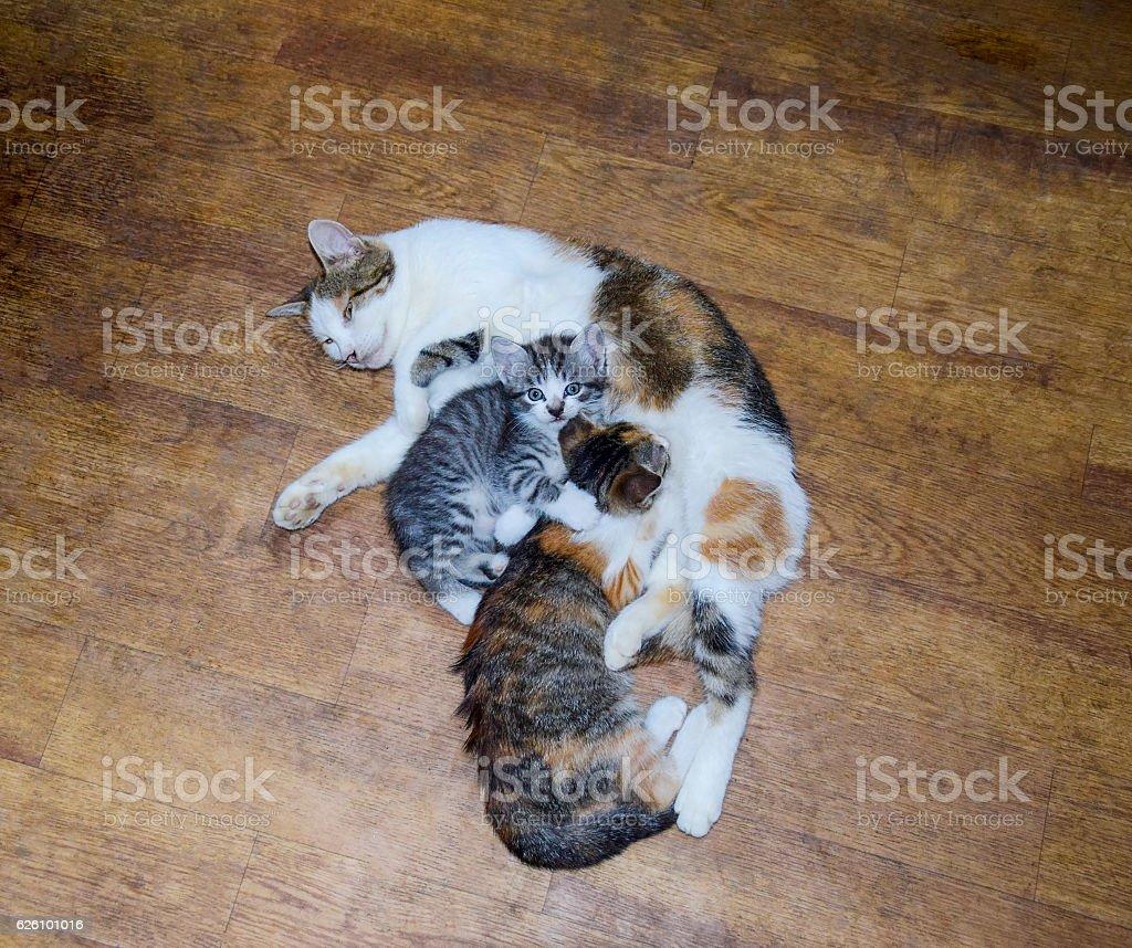 Calico cat feeding kitten milk stock photo