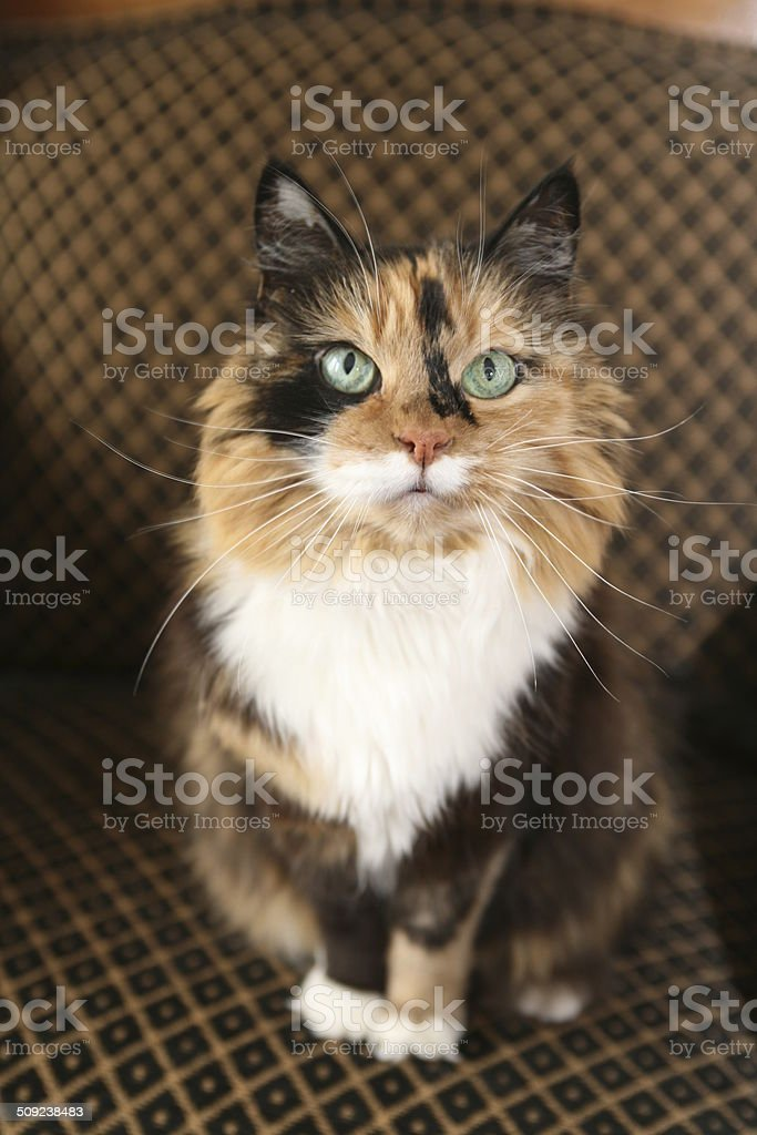 calico cat on chair stock photo