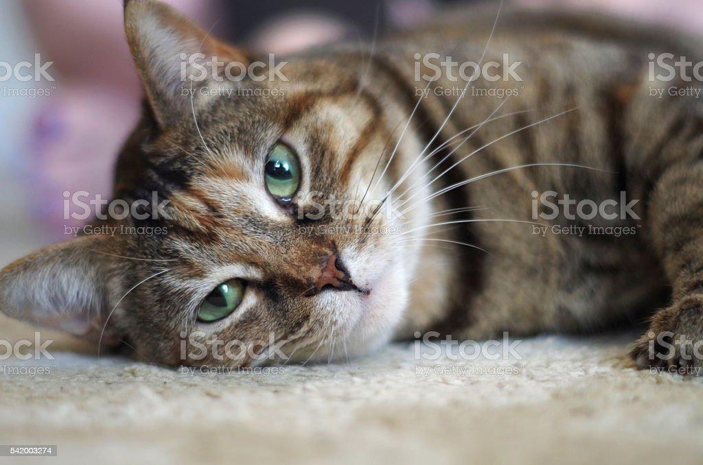 Calico Cat stock photo