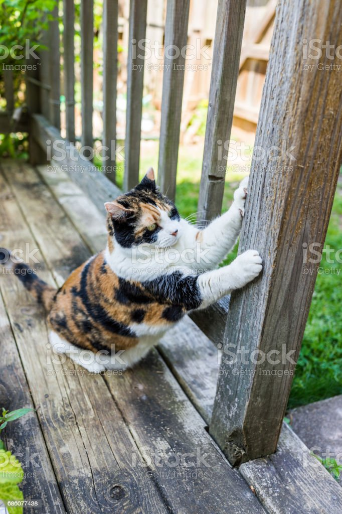 Calico cat scratching nails on scratch post outside in outdoor garden...