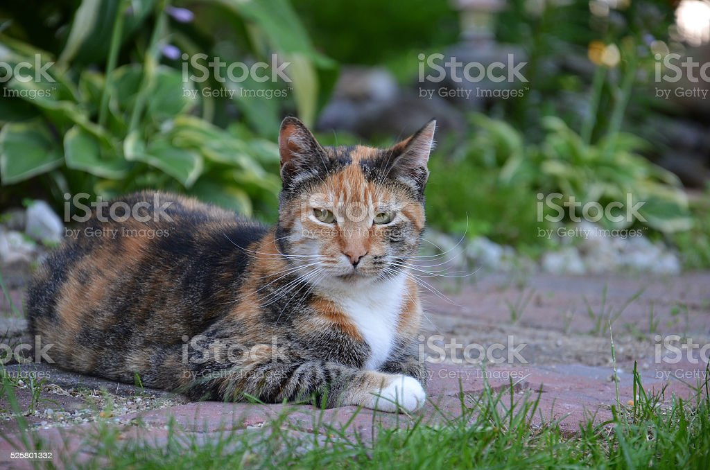 Calico cat sitting on a brick path stock photo