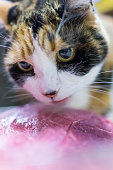 Calico cat staring large chunk of pink beef meat