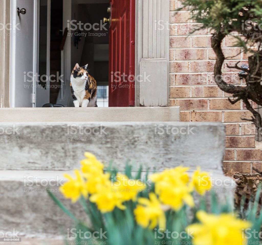 Calico cat walking outside of house by many open yellow daffodils stock photo
