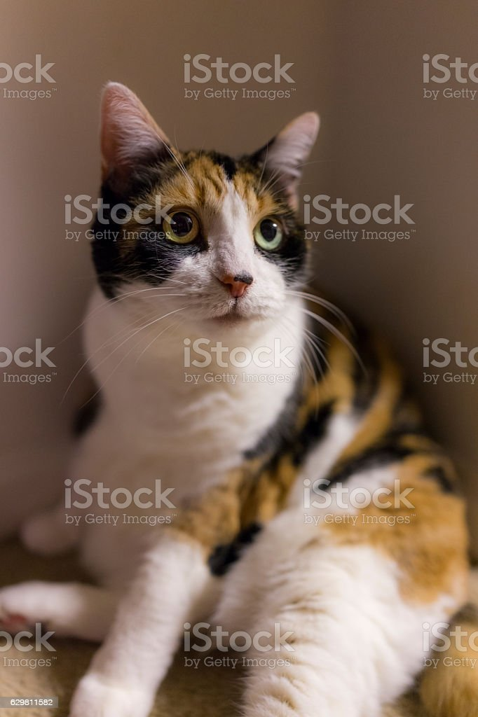 Calico cat with dilated pupils sitting in corner stock photo