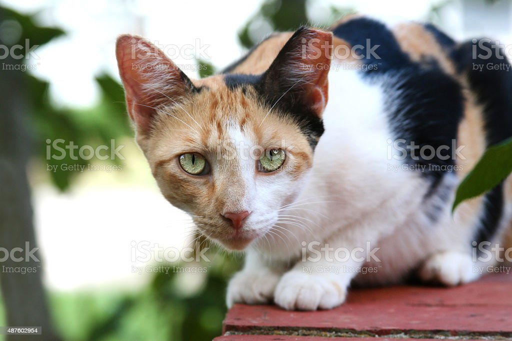 Calico Feral Cat stock photo