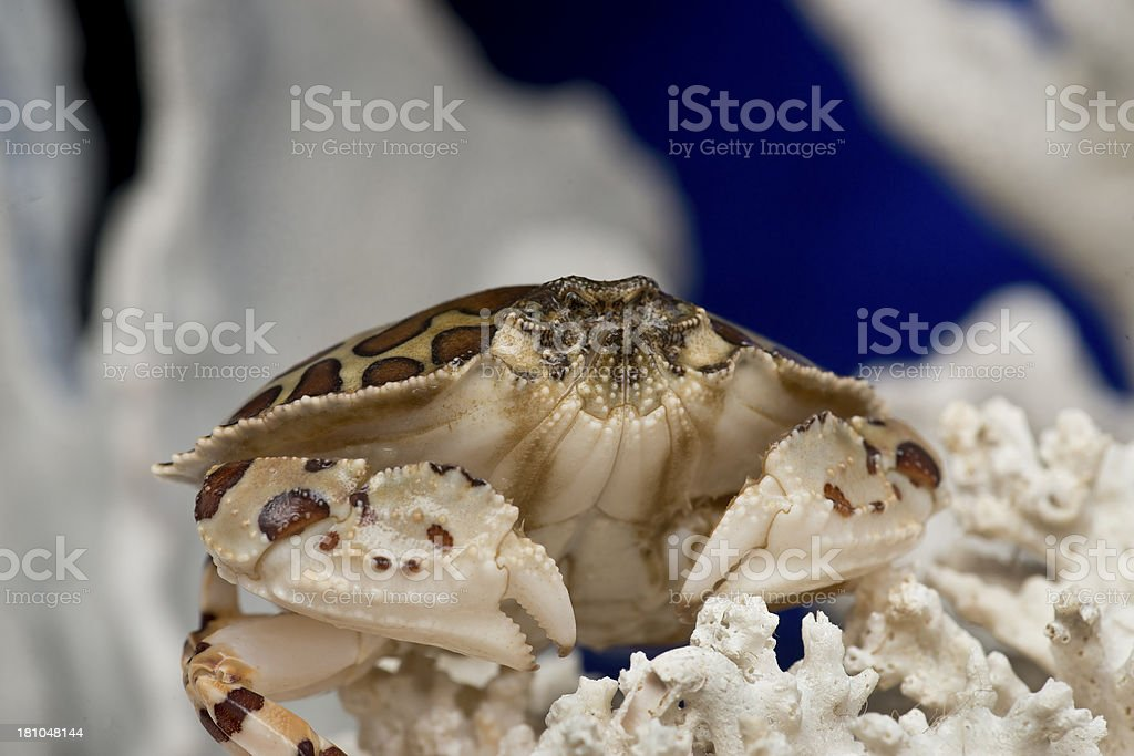 Calico or Dolly Varden crab royalty-free stock photo