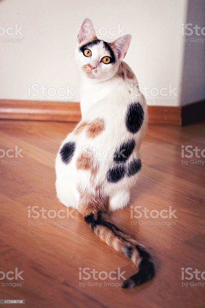 Calico pet house cat sitting & looking back at camera stock photo