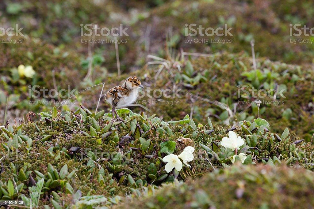 Calidris ptilocnemis stock photo