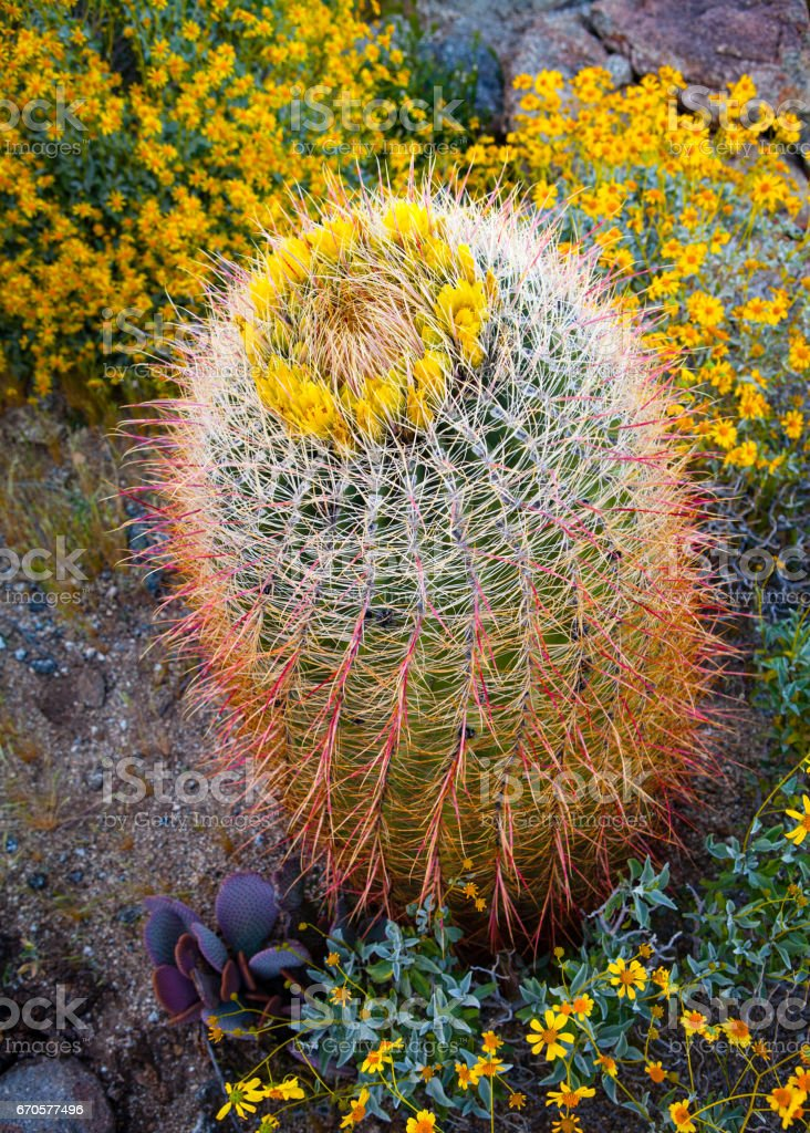 California barrel cactus (Ferocactus cylindraceus) in bloom among brittlebush flowers  - Anza-Borrego Desert stock photo