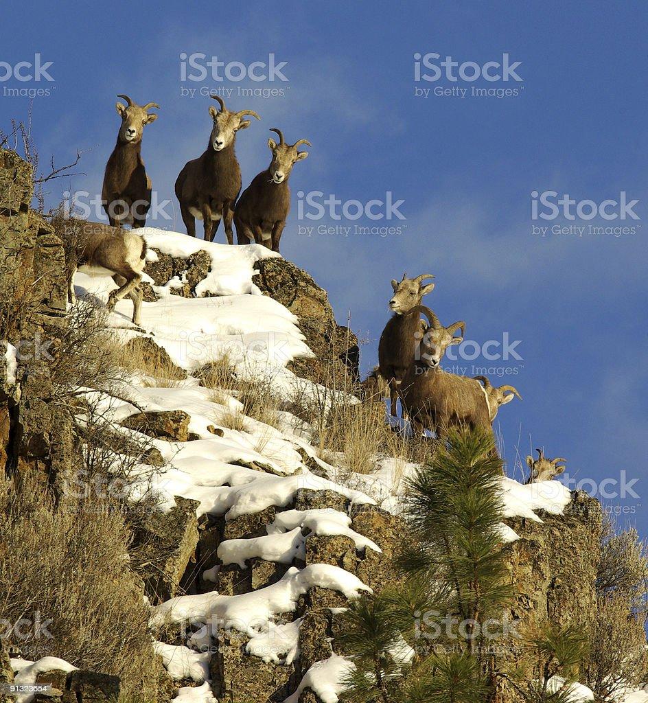 california bighorn sheep 3 stock photo