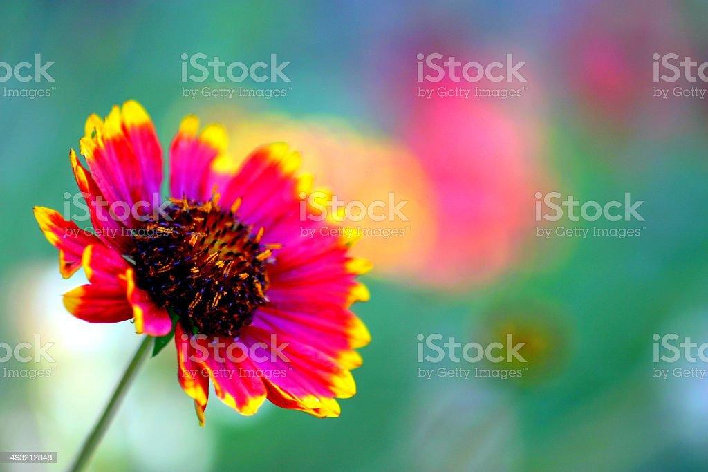 California Blanket Flower stock photo
