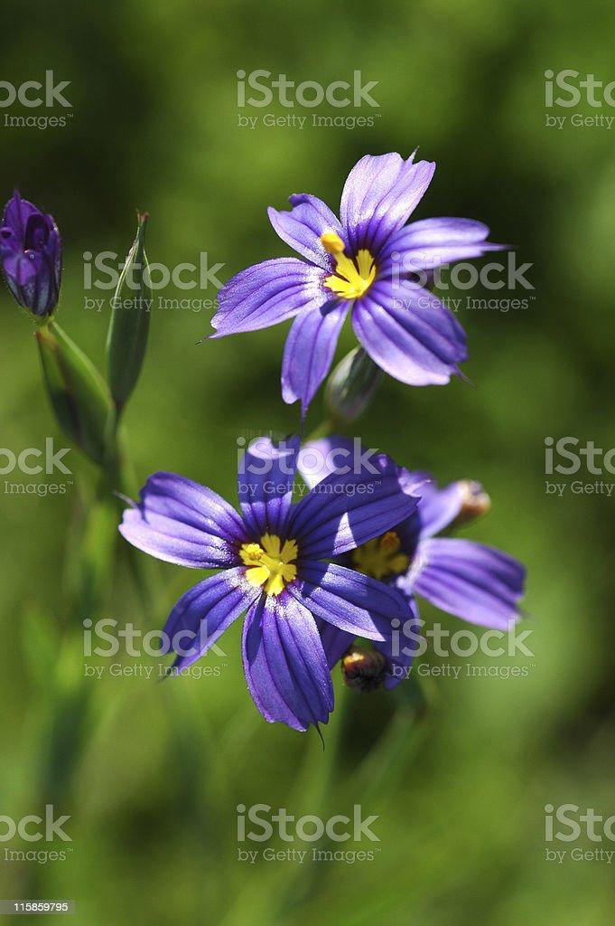 California blue-eyed grass, Sisyrinchium bellum, flowers royalty-free stock photo