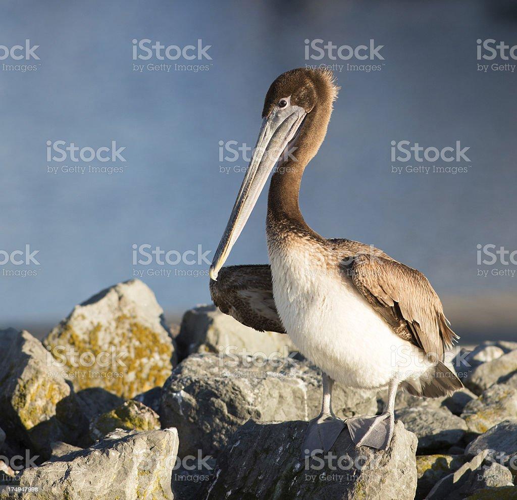 California Brown Pelican royalty-free stock photo
